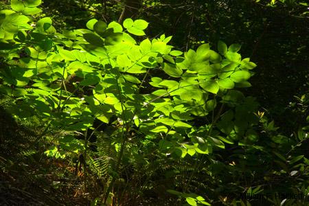 Huckleberry Botanic Regional Preserve, backlit leaves