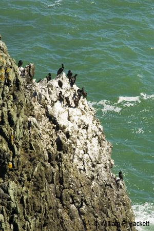 Cormorants, Point Bonita