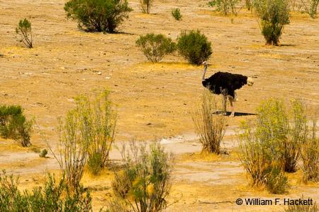 Ostrich, Solvang, California
